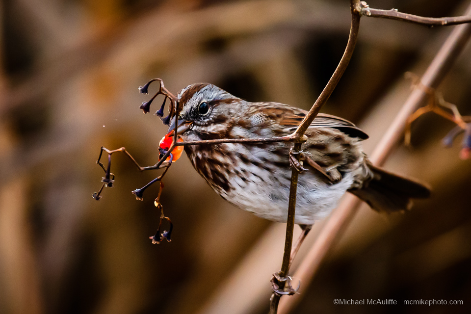 A Song Sparrow at the marsh in Edmonds, Washington.