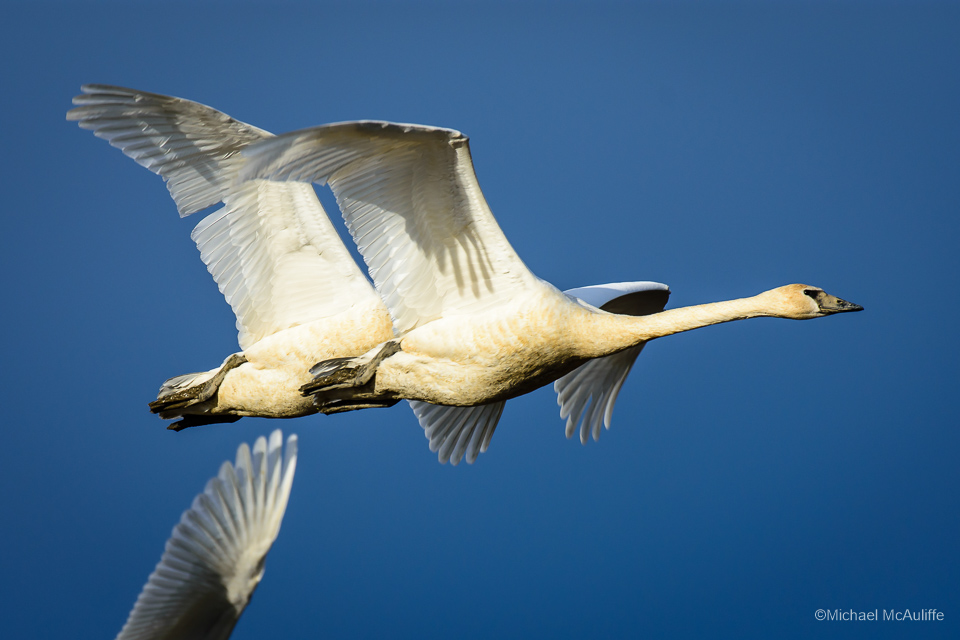 Trumpeter Swans in the Skagit Valley of Northwest Washington state.