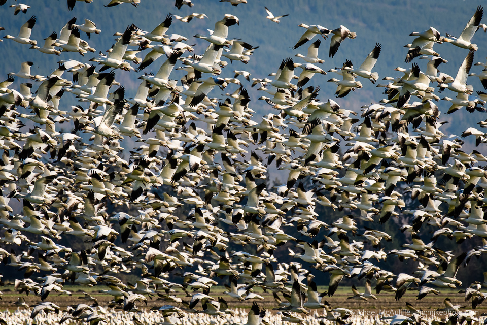 Huge flock of Snow Geese in the Skagit Valley