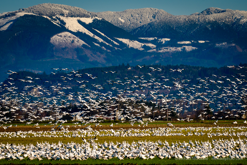 snow-geese-skagit-mcauliffe-screen-2784.jpg
