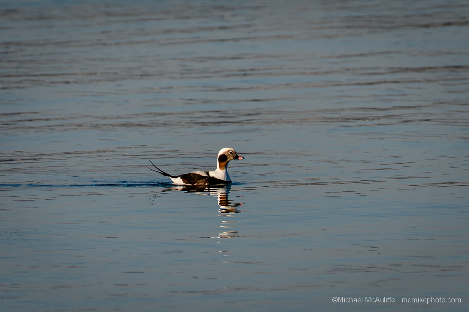 A Long-tailded Duck at the Semiahmoo spit in Northwest Washington state.