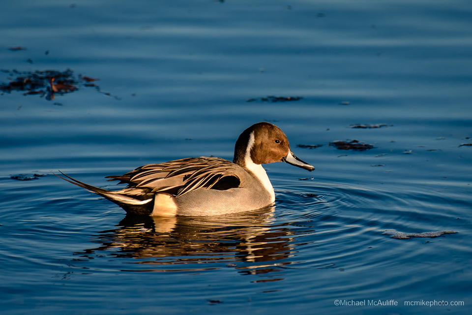 A Northern Pintail Duck at the Semiahmoo spit it Northwest Washington state.