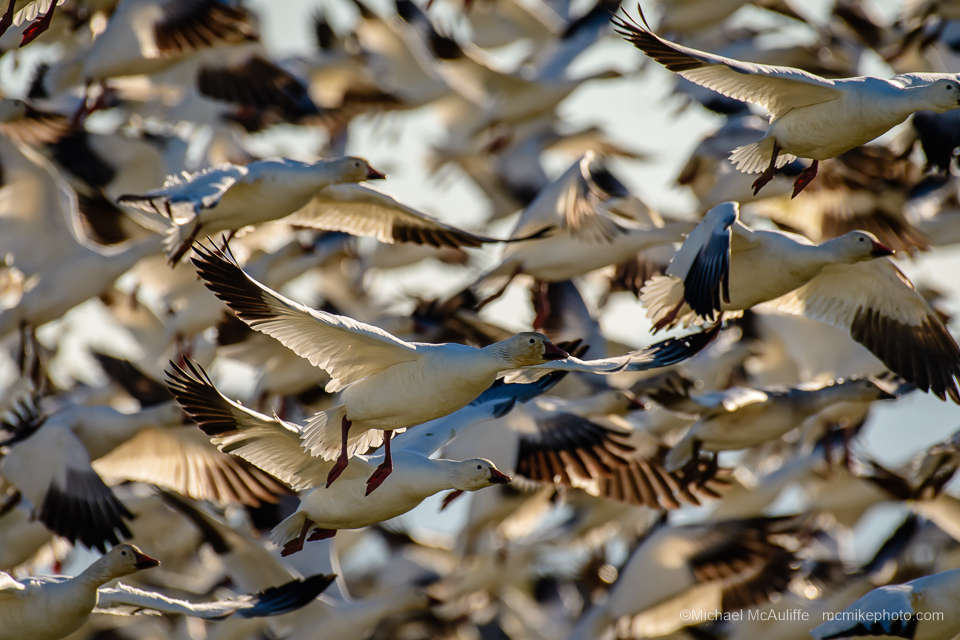 A blizzard of Snow Geese on Fir Island in the Skagit Wildlife Area.