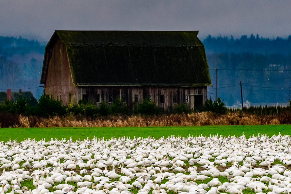 Snow Geese near Conway, Washingtion, in the Skagit valley.