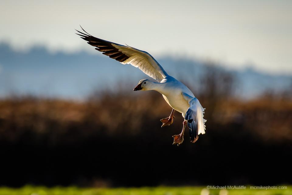 A Snow Goose ot the Skagit Wildife Are on Fir Island near Conway, Washington.