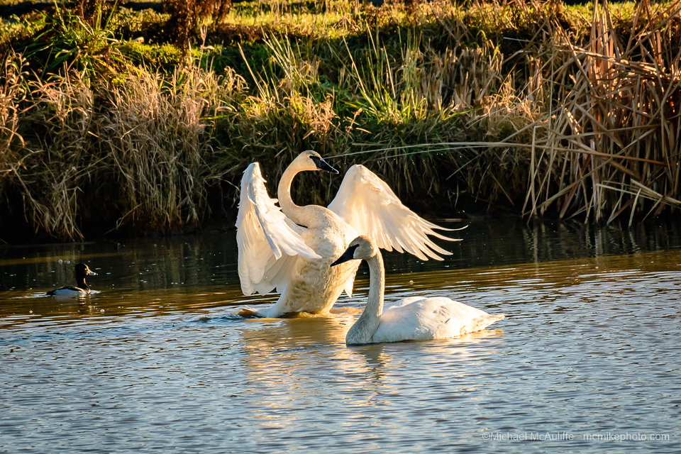 Trumpeter Swans at the Skagit Wildlife Area on Fir Island near Conway, Washington.