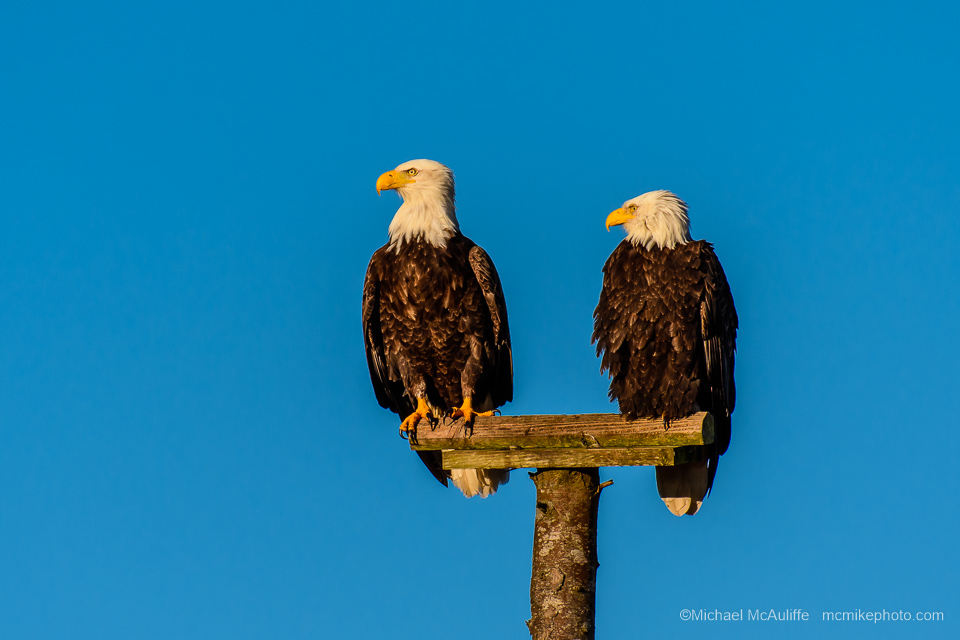 A pair of Bald Eagles at Long Beach, Washington.