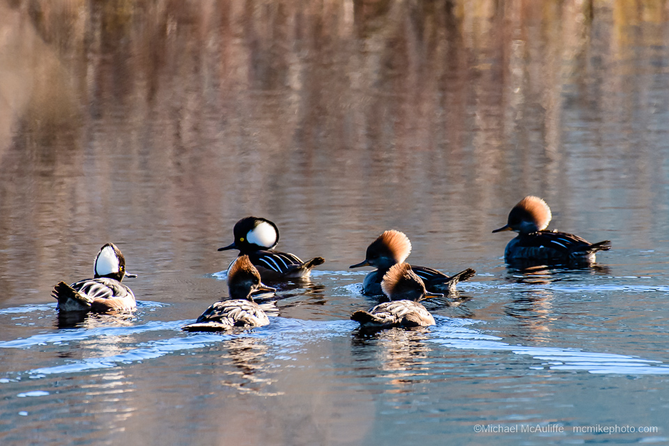 Hooded Mergansers at Long Beach, Washington.