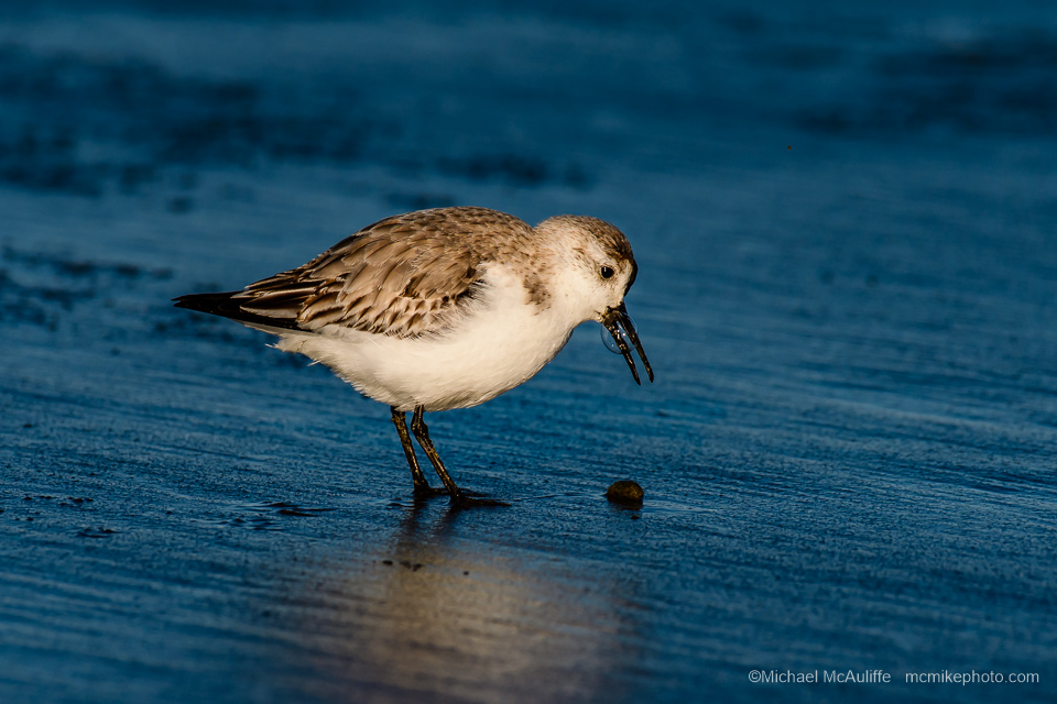 A Sanderling on the beach at Long Beach, Washington.