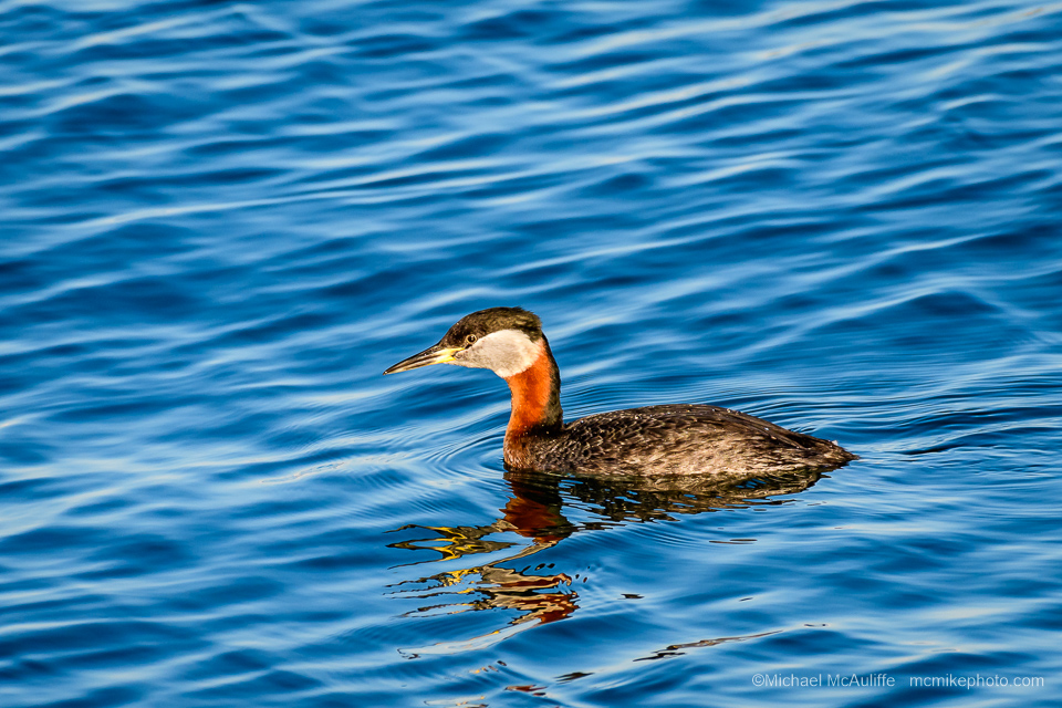 A Red-necked Grebe in breeding plumage on the waterfront in Edmonds, Washington.