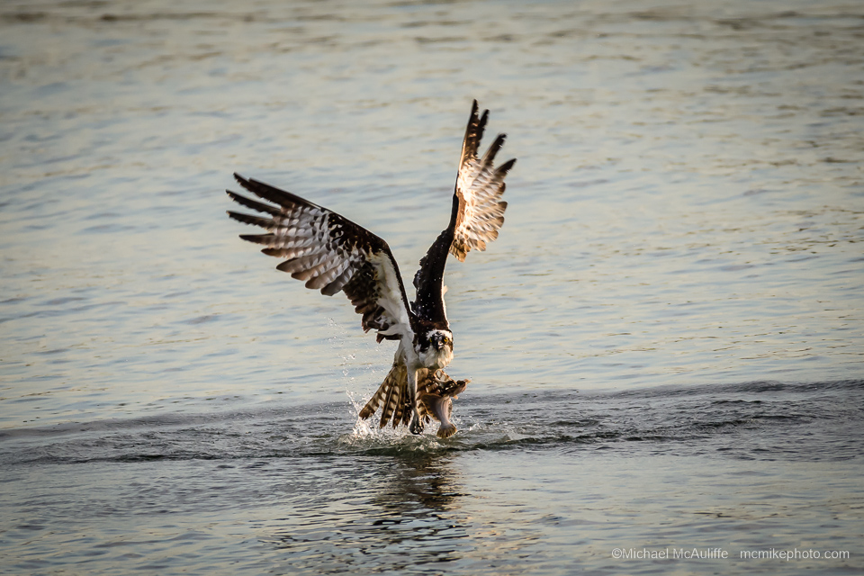 Fishing Osprey