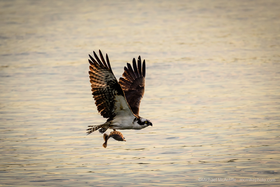 An Osprey with a fish on the waterfront in Edmonds, Washington.