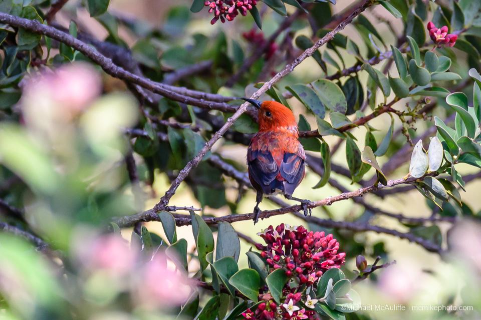An 'Apapane on the island of Maui.