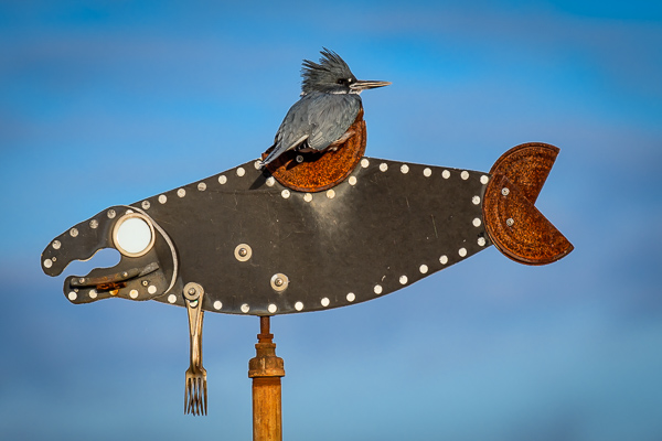 A Belted Kingfisher on a fish sculpture in Edmonds, Washington.