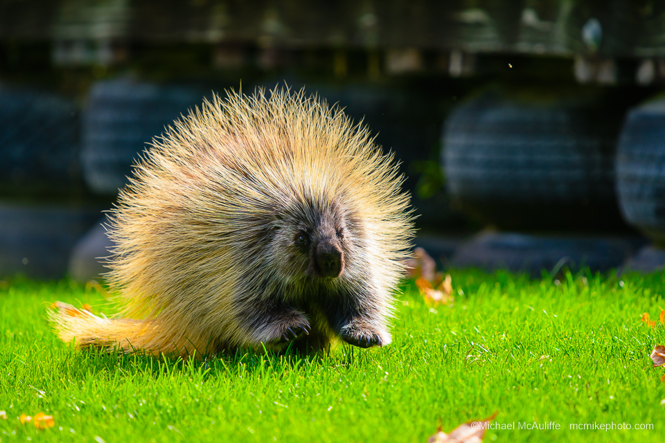 A porcupine at Chelan Falls Park.