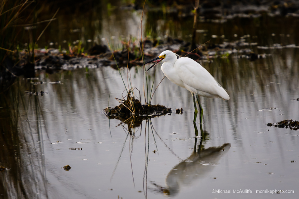 A Snowy Egret at Merritt Island National Wildlife Refuge