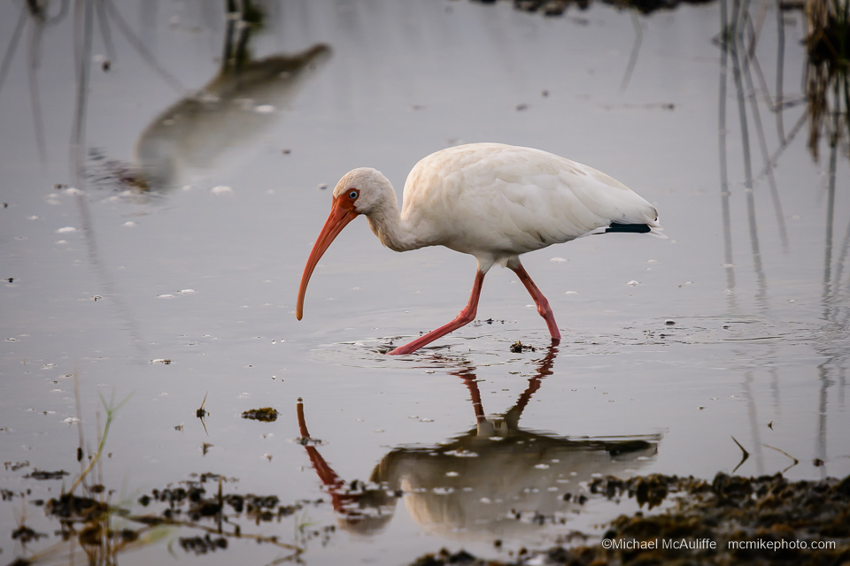 A White Ibis at Merritt Island National Wildlife Refuge
