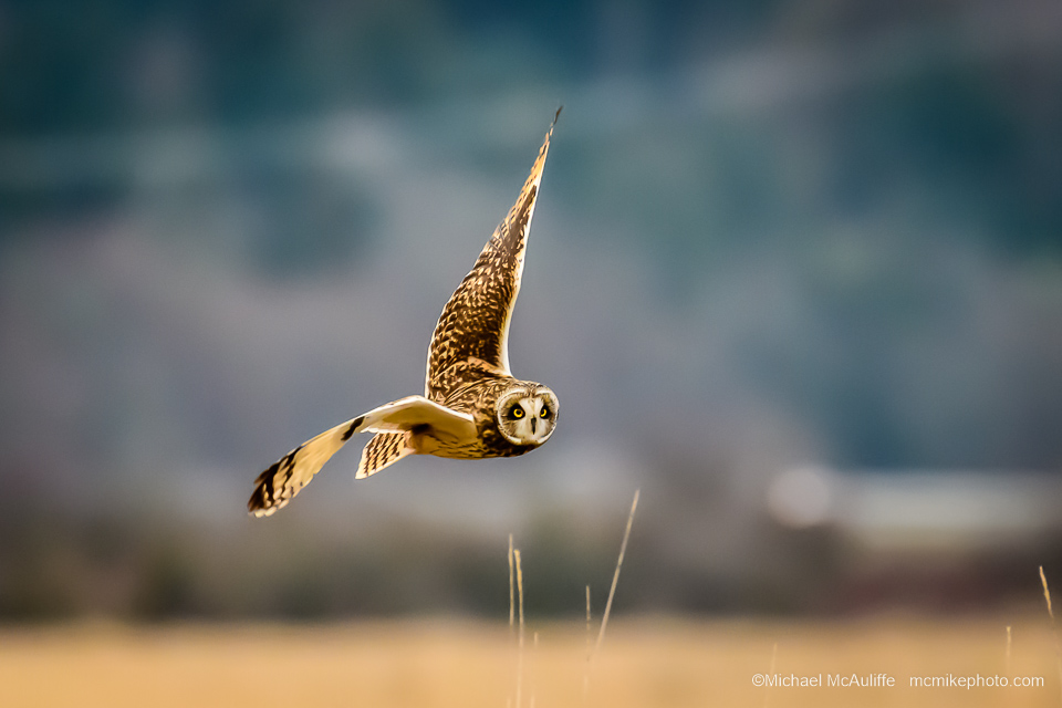 A Short-eared Owl in flight near Stanwood, Washington.