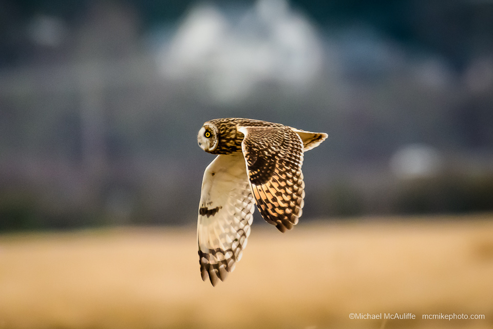 A Short-eared Owl in flight at the Leque Island Unit of the Skagit Wildlife Area near Stanwood, Washington.