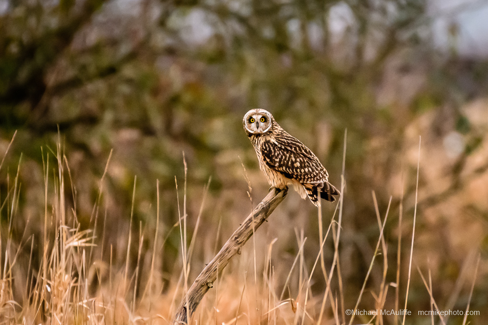 Short-eared Owl Photo Shoot