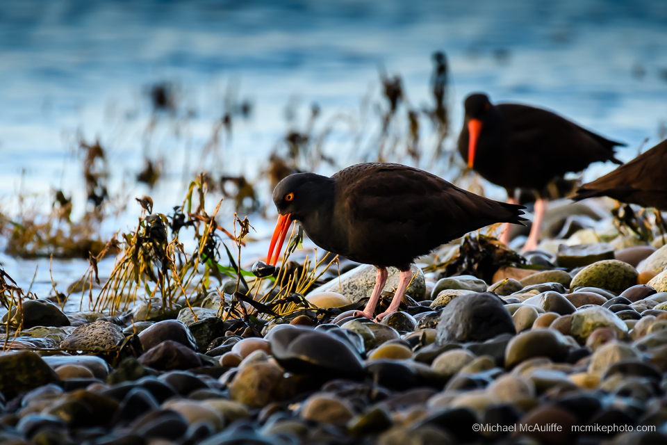 Black Oystercatchers on the Semiahmoo Spit in Northwest Washington.