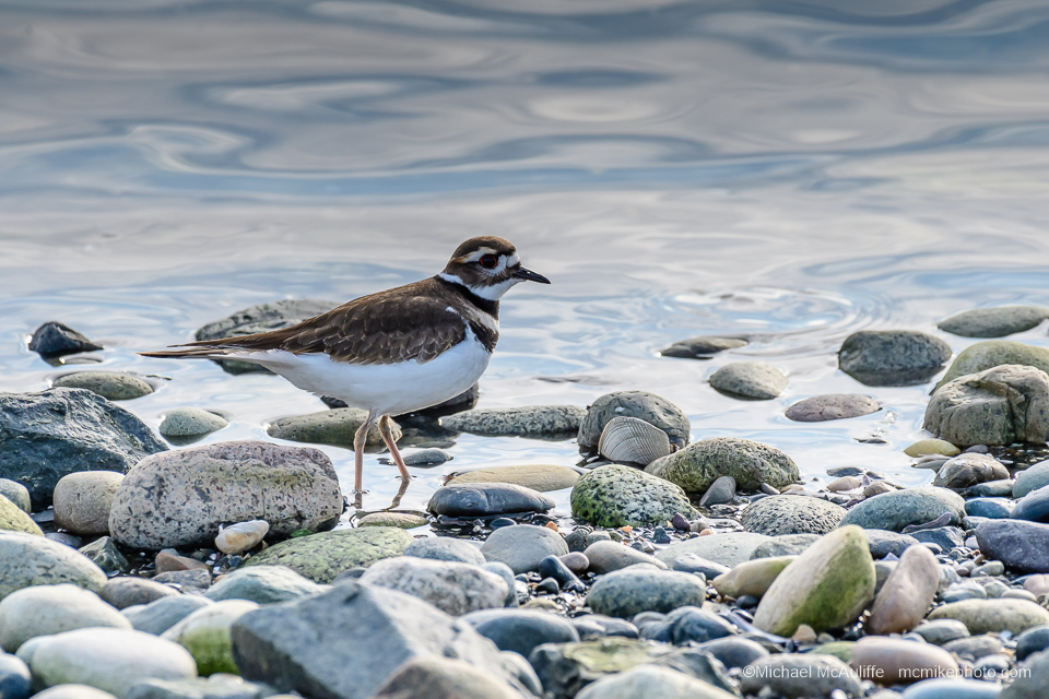 A Kildeer on the beach at Drayton Harbor on Semiahmoo spit.
