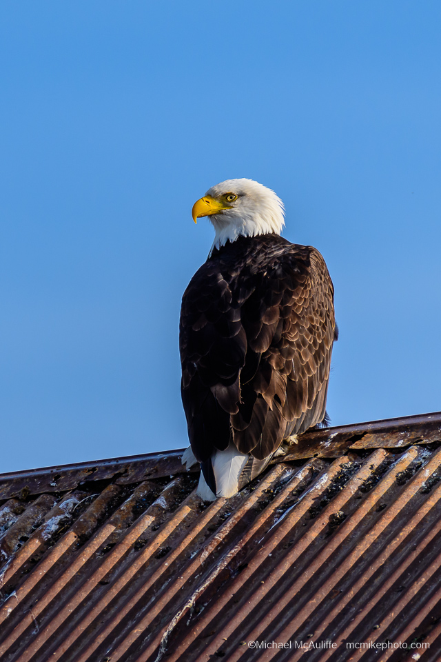 A Bald Eagle sitting on the roof of a building on Drayton Harbor at Semiahmoo Resort.