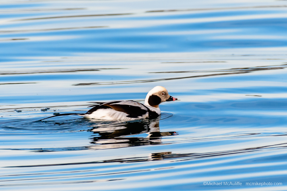 A male Long-tailed Duck in Drayton Harbor. Photo taken from the Semiahmoo Spit.