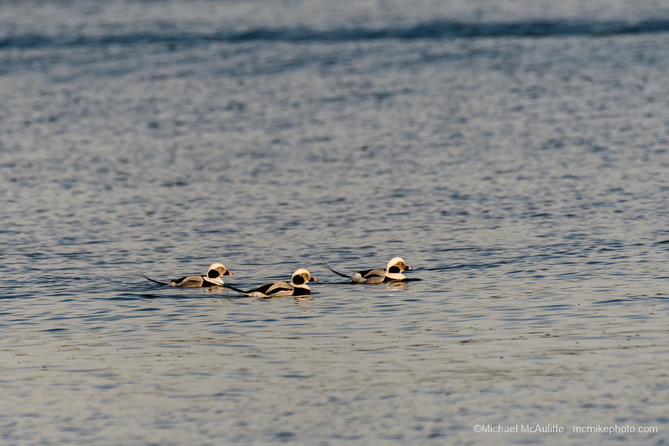 Long-tailed Ducks in Drayton Harbor. Photo taken from the Semiahmoo Spit.