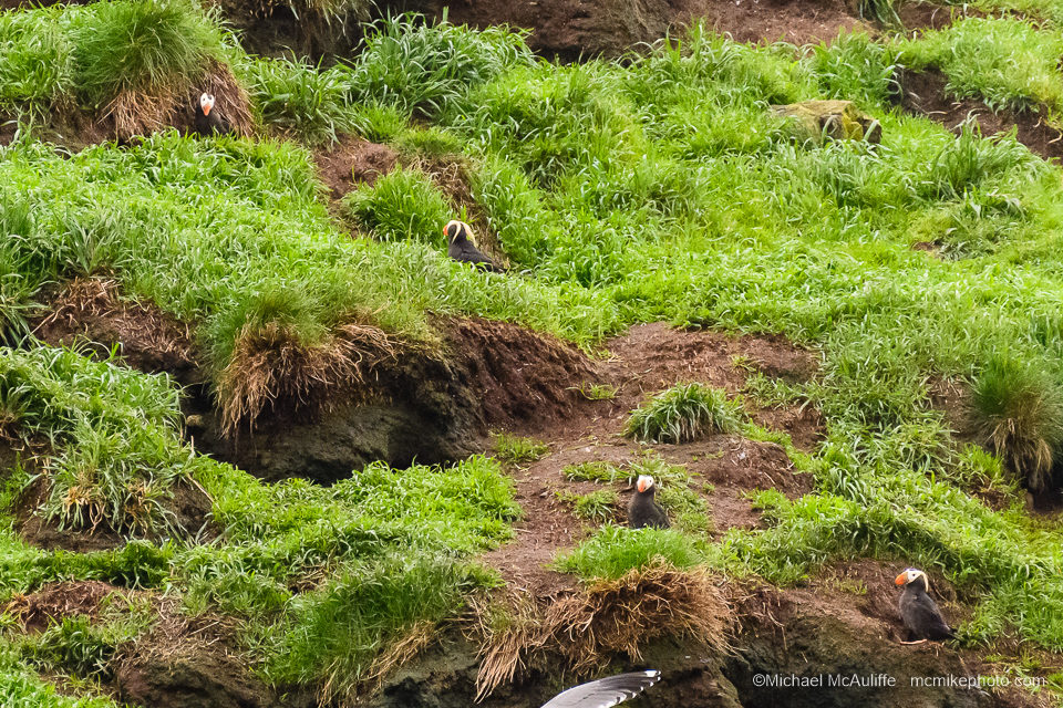Tufted Puffins At Cannon Beach