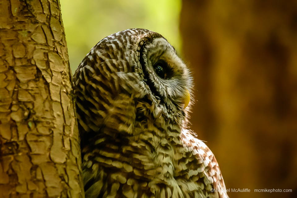 A Barred Owl in Pine Ridge Park in Edmonds, Washington.
