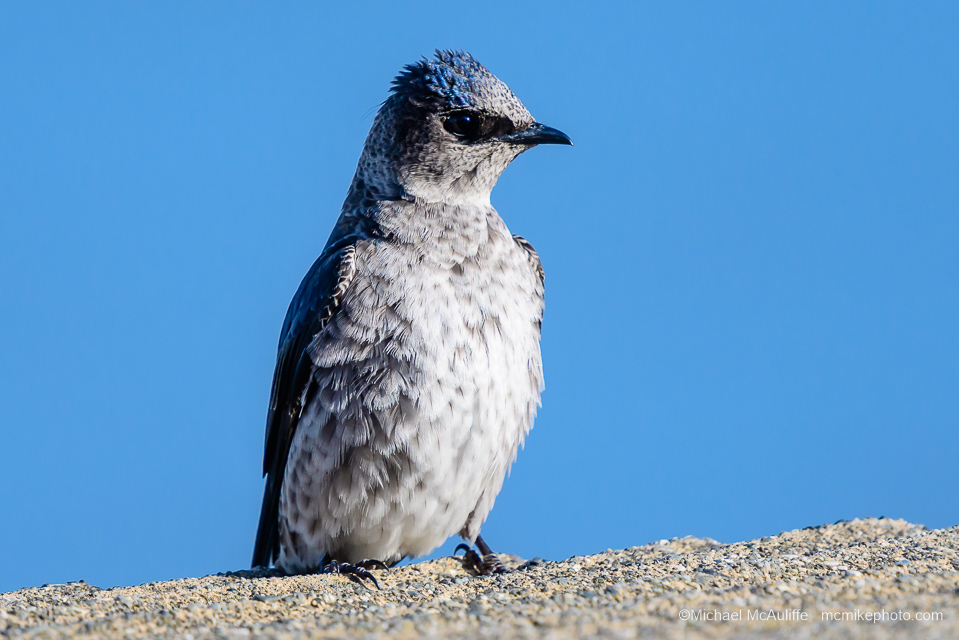 A Purple Martin posing on the waterfront in Edmonds, Washington.