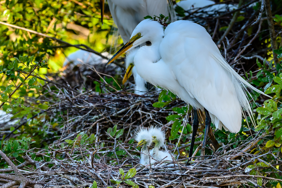 Great Egret Family at Gatorland