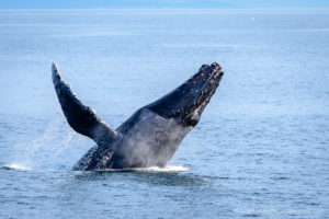 Puget Sound Humpback Whales