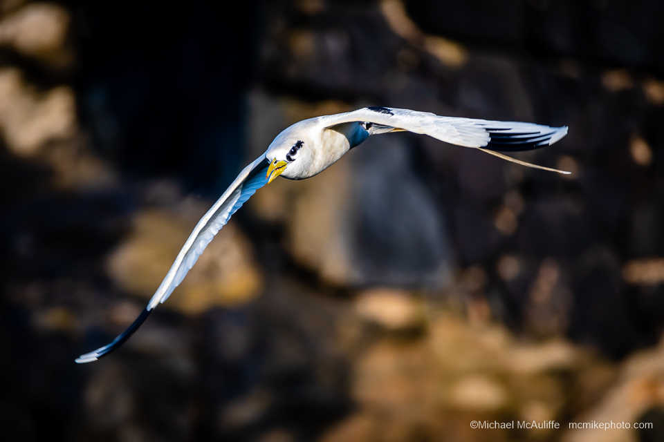 A White-tailed Tropicbird on Kauai, Hawaii.