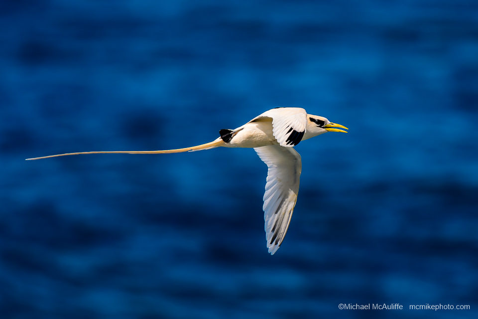 White-tailed Tropicbirds on Kauai