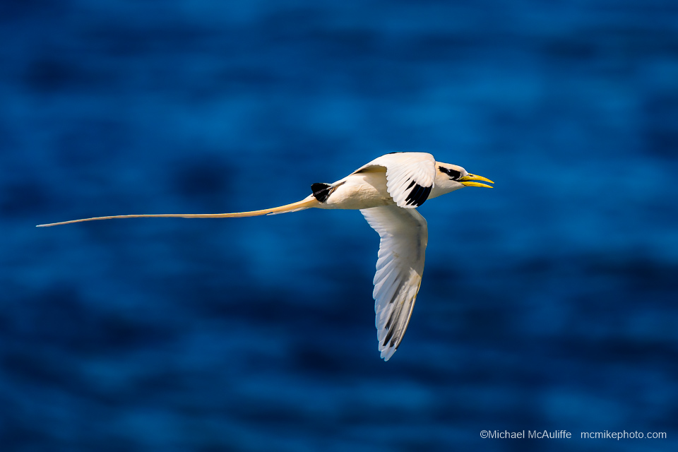 A White-tailed Tropicbird on Kauai, HI.