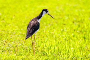 Hawaiian Black-necked Stilts