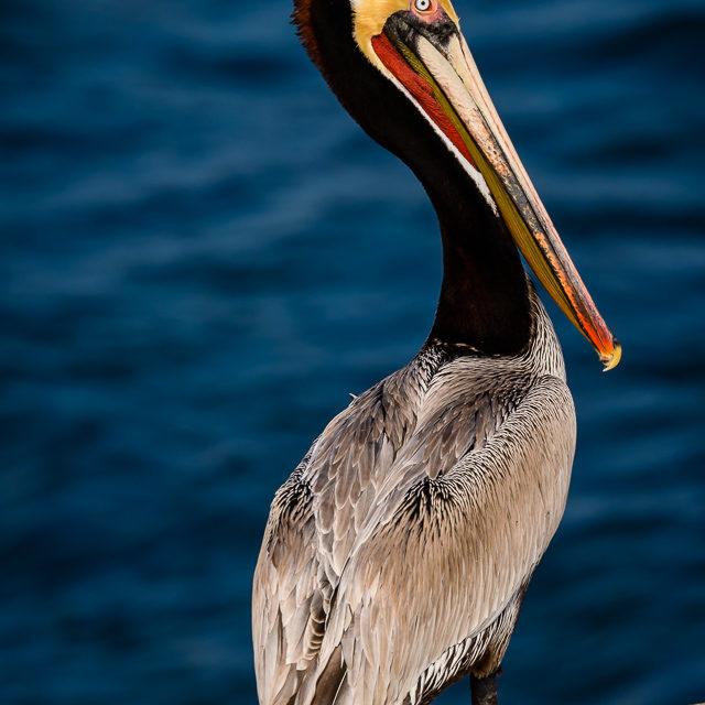 La Jolla Brown Pelicans
