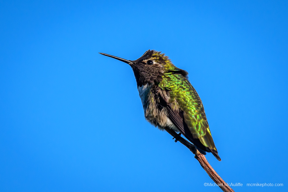 Anna's Hummingbird on the waterfront in Edmonds, Washington.