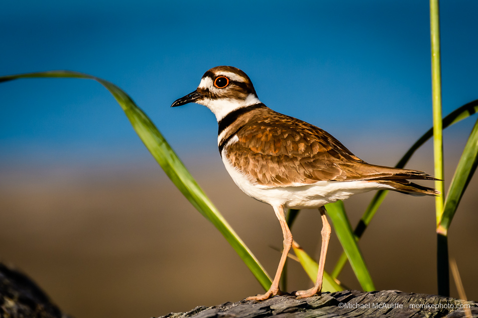 A Killdeer on the waterfront in Edmonds, Washington.