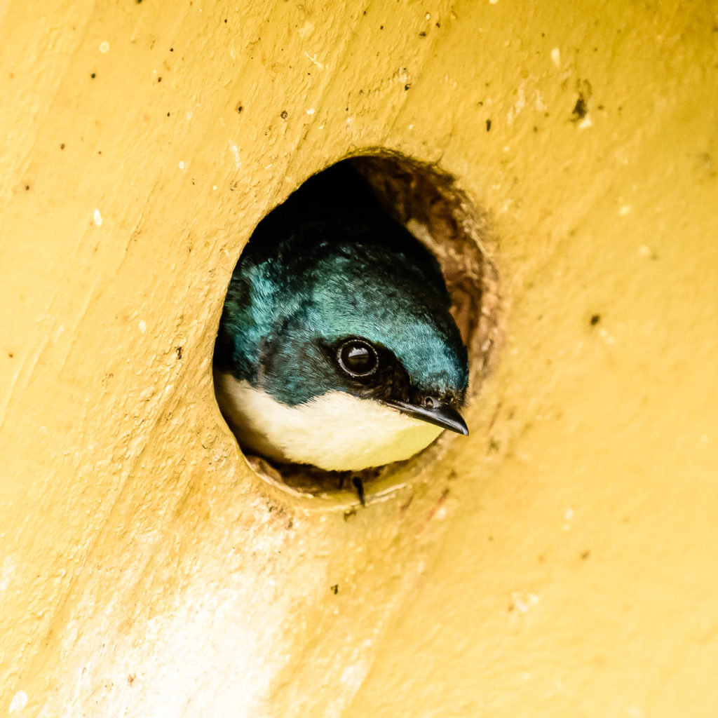 A Tree Swallow peering out of a nesting box at Wylie Slough in the Skagit Wildlife Area.
