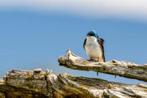 Skagit Tree Swallows