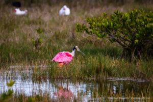 Merritt Island Roseate Spoonbill and White Ibis