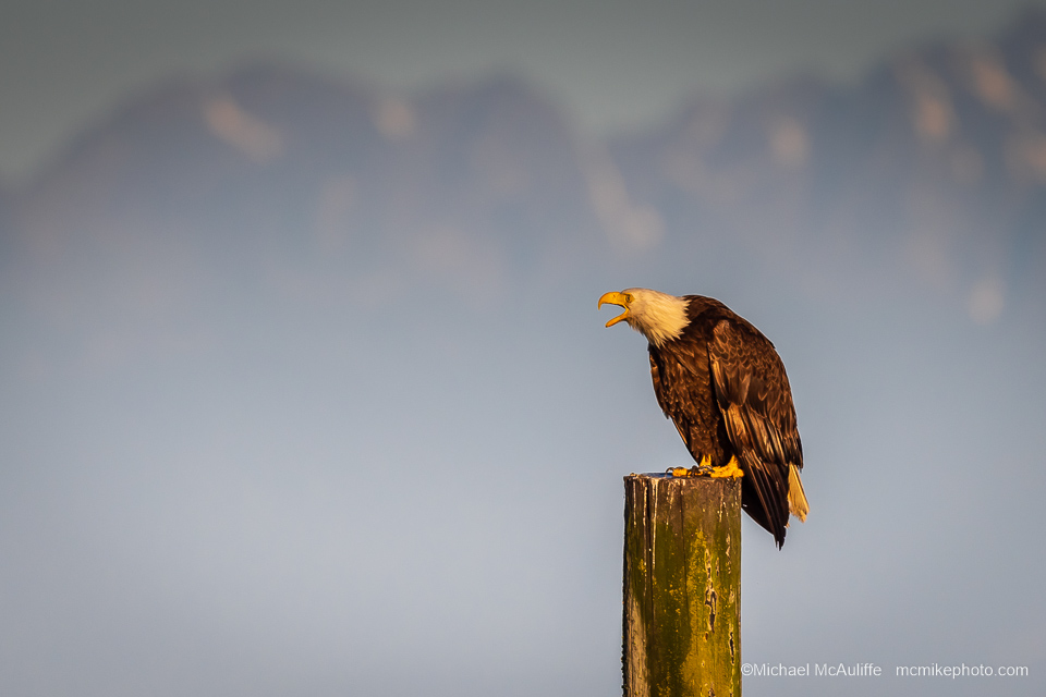 An unhappy Bald Eagle on the Edmonds, Washington, waterfront.