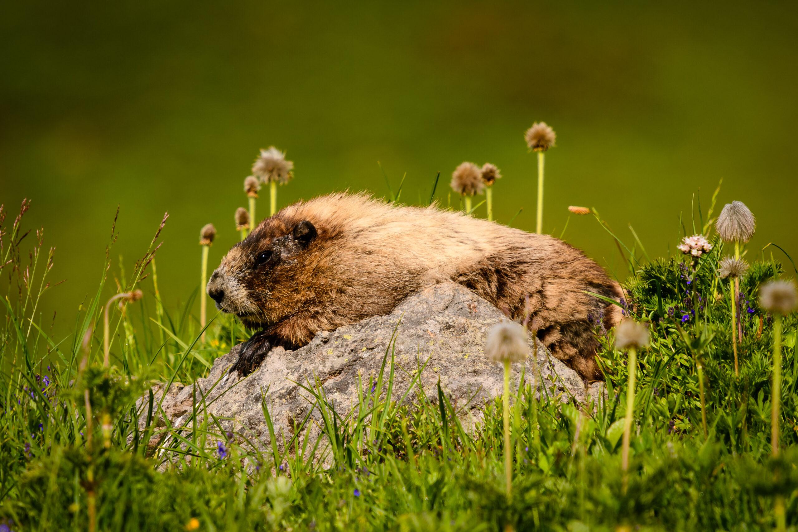 Paradise Marmots