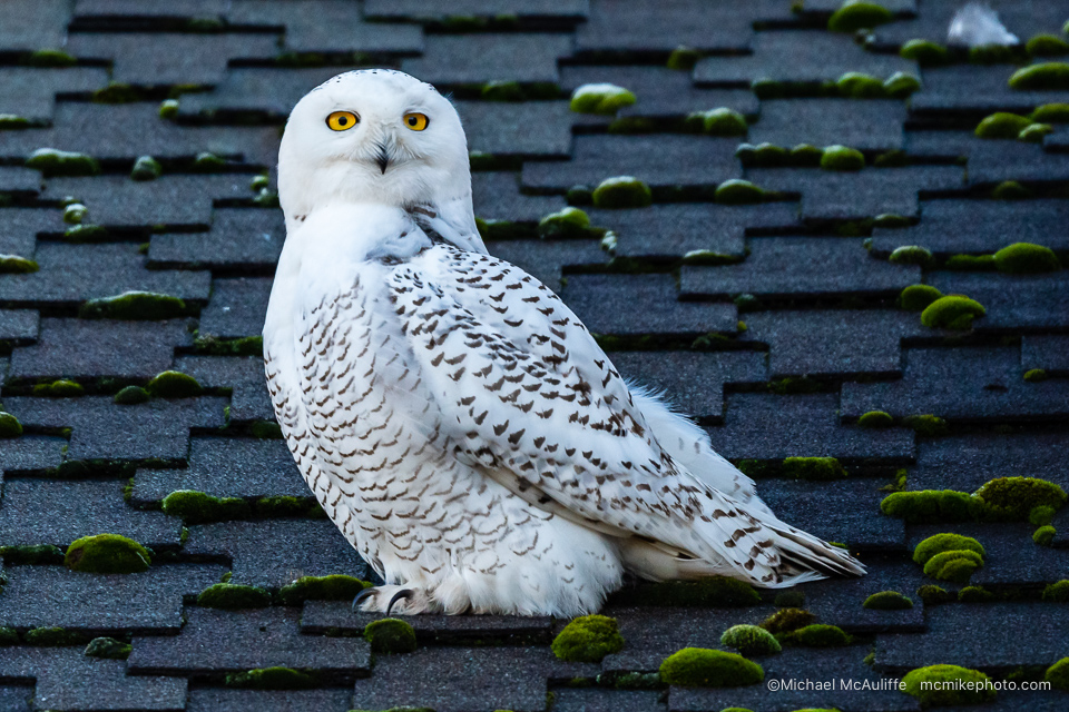 Snowy Owl Photographs