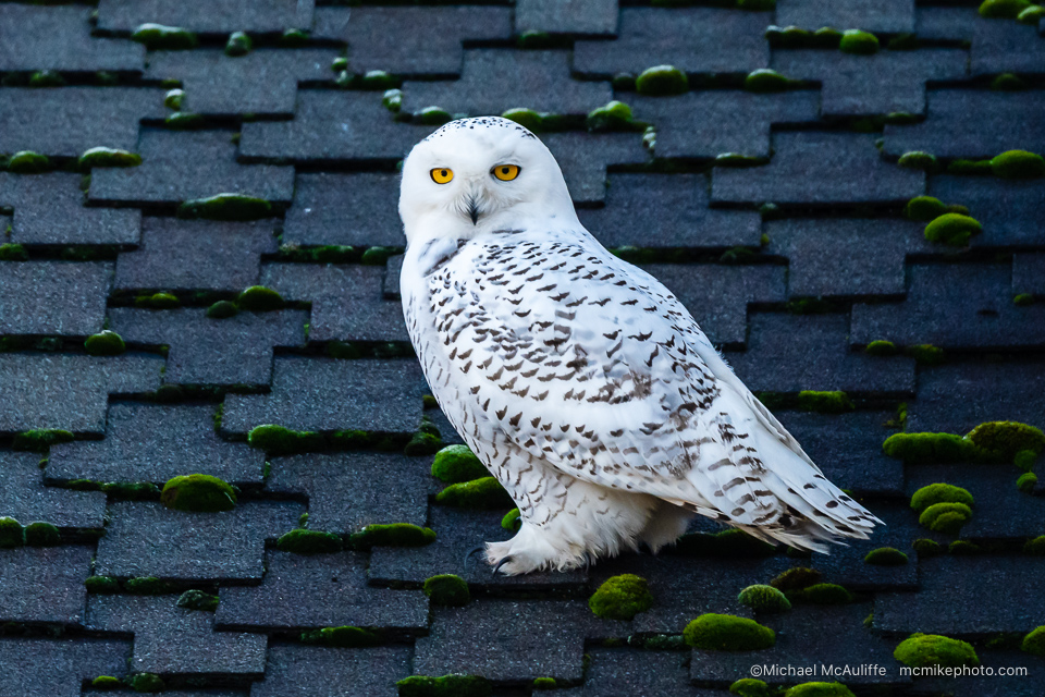 A Snowy Owl with piercing yellow eyes in Seattle, Washington.