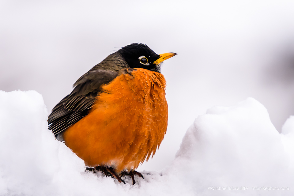A photo of an American Robin in the snow.