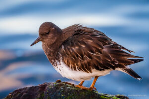 Bird of the Week: Black Turnstone